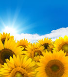 Sonnenblumepanorama lizenzfreie stockfotos
