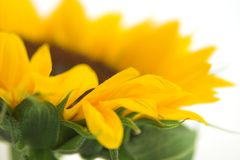 Sonnenblumeprofil lizenzfreies stockfoto