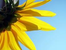 Sonnenblumerückseite lizenzfreie stockfotografie