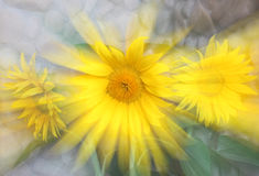 Sonnenblumestrahl Lizenzfreie Stockfotografie