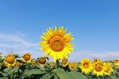 Sonnenblumevorstand. Stockfotografie