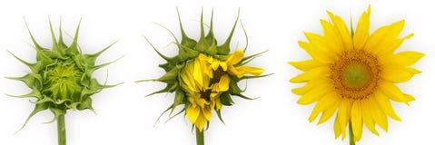 Sonnenblumewachstum Stockfotografie