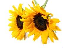 Sonnenblumeweißhintergrund Lizenzfreie Stockfotos