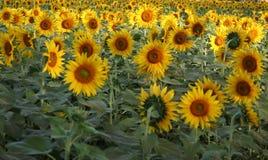 Sonnenblumewiesenbauernhöfe und Ernährungsenergie Stockbild