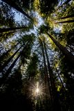 Sonnendurchbruch, der oben durch Rotholzbäume schaut Lizenzfreies Stockbild