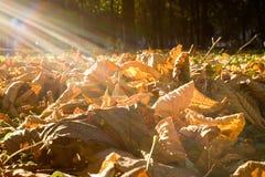 Sonnendurchbruch- und Gelbblätter Stockfoto