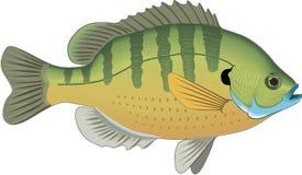 Sonnenfisch-schwimmende Illustration vektor abbildung
