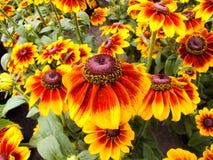 Sonnenhut Echinacea Royalty-vrije Stock Fotografie