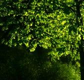 Sonnenlicht auf den Blättern von Bäumen Lizenzfreies Stockfoto