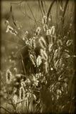 Sonnenlicht auf flaumigen Samen-Köpfen Lizenzfreie Stockbilder