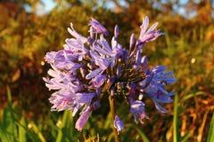 Sonnenlicht auf purpurroter Gartenblume Stockfoto