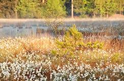 Sonnenlicht auf Sumpf mit Wollgras Lizenzfreie Stockbilder