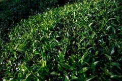 Sonnenlicht auf Teeblättern in den Bergen in Sri Lanka lizenzfreie stockfotos