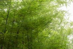 Sonnenlicht, das auf dem Bambus glänzt Lizenzfreie Stockfotos