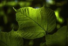 Sonnenlicht, das durch Blatt im Holz glänzt Lizenzfreie Stockfotografie
