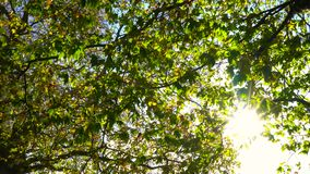 Sonnenlicht, das durch die Blätter eines Rosskastanie- oder Conkerbaums im Fall oder im Herbst funkelt stock video footage