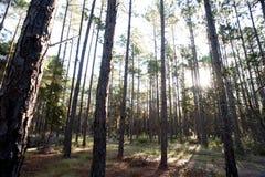 Sonnenlicht, das durch Wald strömt Stockfotografie
