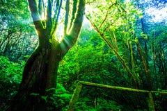 Sonnenlicht durch den großen Baum lizenzfreies stockbild