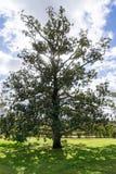 Sonnenlicht durch einen großen Baum im Garten Lizenzfreie Stockfotografie