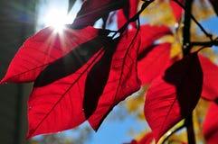 Sonnenlicht durch rote Blätter Stockbild