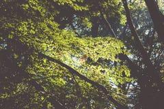 Sonnenlicht glänzt zwischen den Blättern im Wald Lizenzfreie Stockfotografie