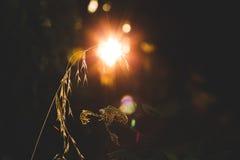 Sonnenlicht hinter Weizen Stockbild