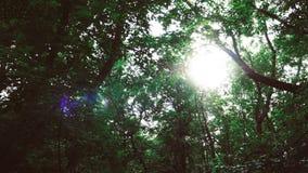 Sonnenlicht im grünen Koniferenwald, Sommer-Natur stock video
