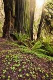Sonnenlicht im Rotholz-Wald Stockfotos