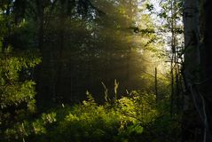 Sonnenlicht im Walddickicht Lizenzfreie Stockfotos