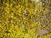 Sonnenlicht schlug Wand mit dem grünen und gelben Flechtenmoos, das b wächst Lizenzfreies Stockbild