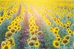 Sonnenlichteffekt über Sonnenblumenfeld der vollen Blüte Stockfotografie