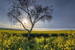 Sonnenlichtfilter des frühen Morgens über Canolafeldern Lizenzfreie Stockfotografie