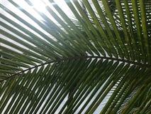 Sonnenlichtglanz durch grünen Kokosnusspalmenblattstiel in der Sommertageszeit lizenzfreie stockfotografie
