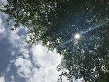 Sonnenlichtstrahl glänzt durch die grünen Blätter schwarzen afara Baums mit hellem blauem Himmel stockfoto