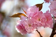 Sonnenschein auf Cherry Blossoms Lizenzfreie Stockbilder