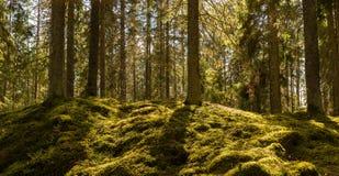 Sonnenschein auf dem Waldmoos stockfoto