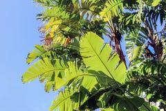 Sonnenschein auf grünen Bananenblättern Stockfotografie