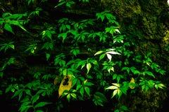 Sonnenschein denkt über Blätter des grünen Baums nach und hat anderen Blattfelsen Lizenzfreies Stockfoto