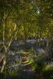 Sonnenschein durch die Blätter im Glockenblumeholz in Dorset Stockfotografie