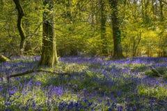 Sonnenschein durch die Blätter im Glockenblumeholz in Dorset Lizenzfreie Stockfotos