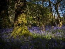 Sonnenschein durch die Blätter im Glockenblumeholz in Dorset Lizenzfreies Stockbild