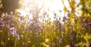 Sonnenschein durch die Blätter im Glockenblumeholz in Dorset Stockbilder