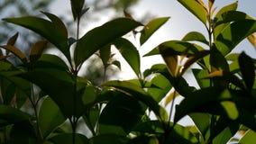 Sonnenschein durch die jungen Bäume stock video