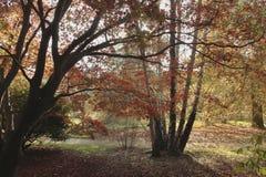 Sonnenschein durch hochrote Blätter stockbild