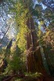 Sonnenschein durch Rotholz-Wald Lizenzfreies Stockfoto