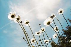 Sonnenschein-Gänseblümchen Stockbilder