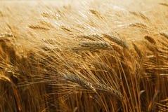 Sonnenschein-Gersten-Feld Lizenzfreies Stockfoto