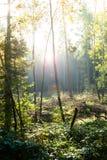 Sonnenschein im Wald mit Hintergrundbeleuchtung Stockfotografie