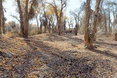 Sonnenschein mit gelben Populus euphratica Bäumen Lizenzfreie Stockfotografie