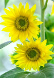 Sonnenschein zwei Sonnenblumen zusammen im Frühjahr Stockbild